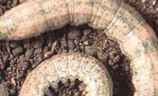 Cutworm / Armyworm