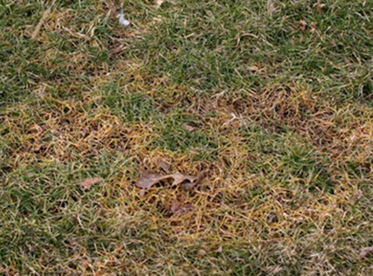 Goldenrule Lawn Solutions Lawn Disease Management