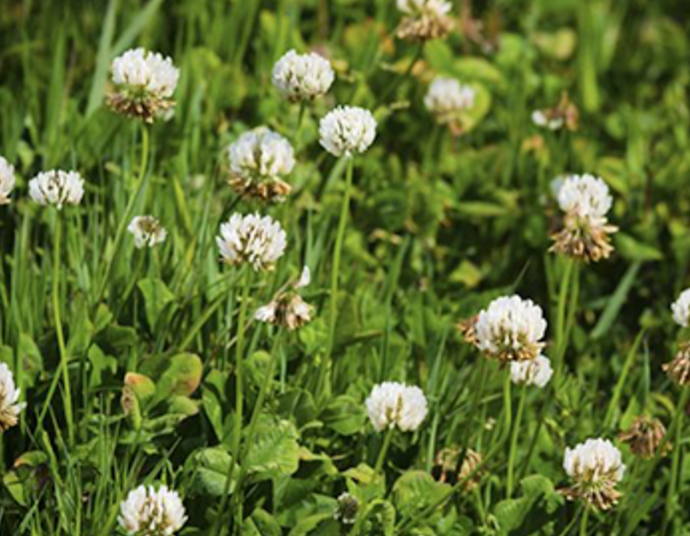 Goldenrule lawn solutions weed management white or dutch clover used to be a common ingredient in lawn seed blends these days this perennial weed is regarded as a bad guy in most lawns mightylinksfo