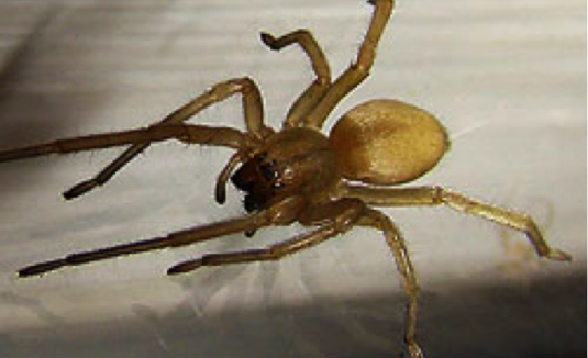 YellowSacSpider