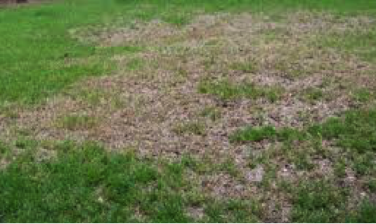 Black Turf Grass Ataenius Damage